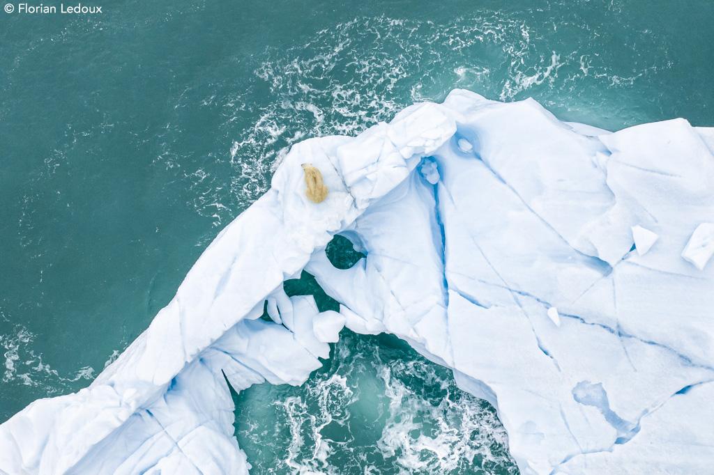Polar Bear on Iceberg by Florian Ledoux