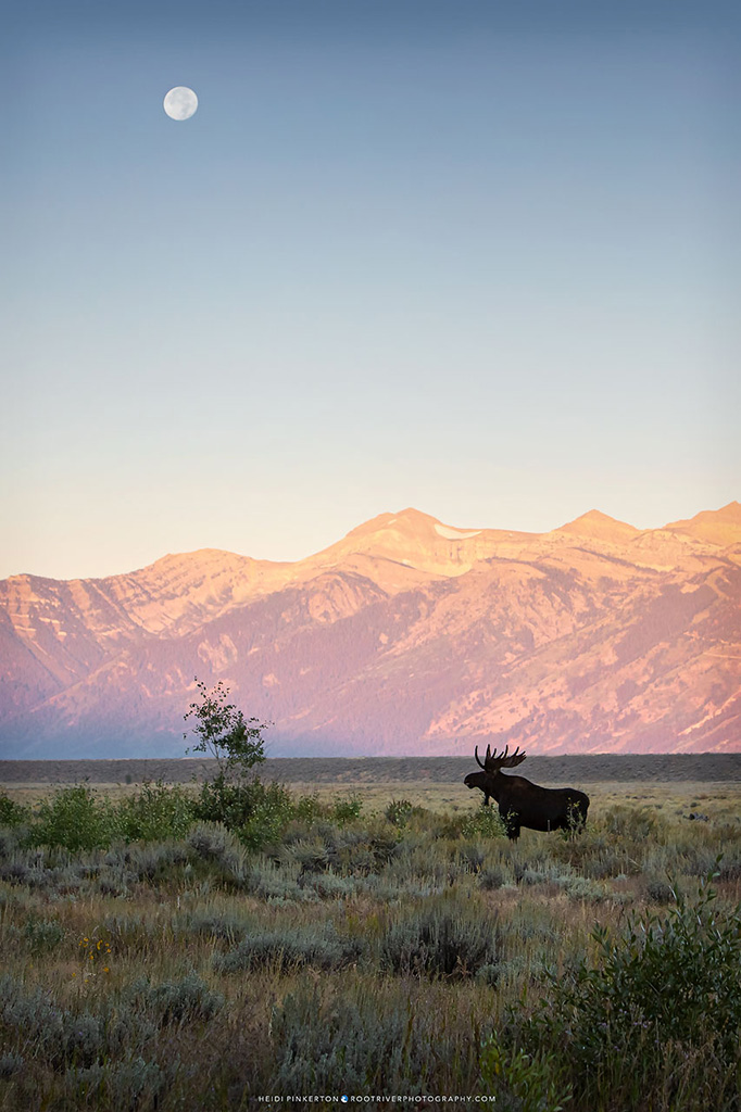 Moose by Heidi Pinkerton