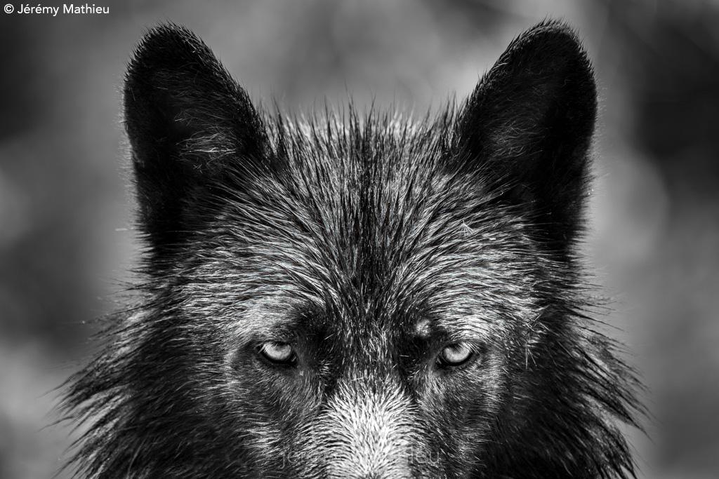 Black wolf by Jeremy Mathieu