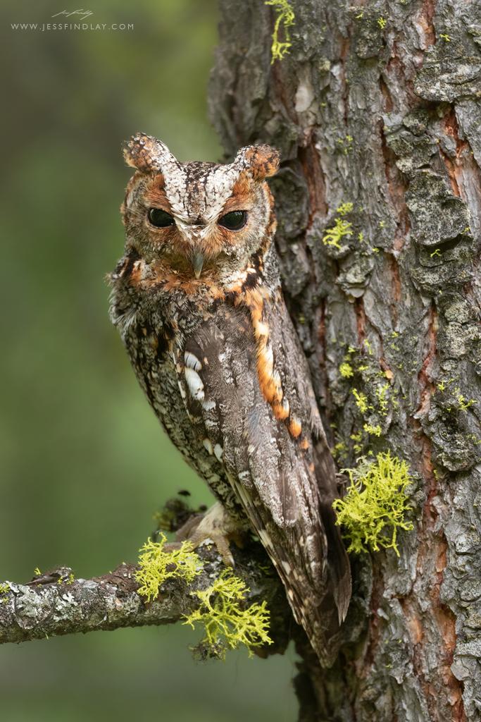 Flammulated Owl by Jess Findlay