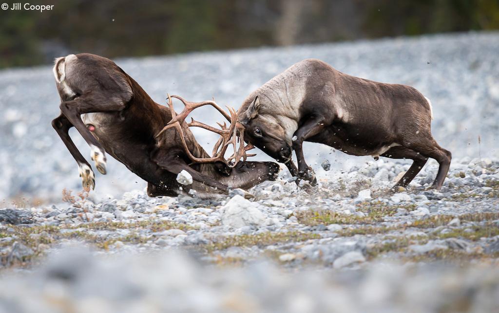 Mountain caribou by Jill Cooper