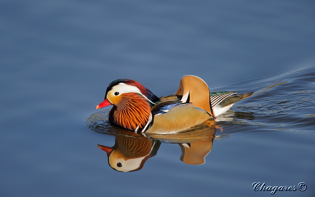 Mandarin Duck by Jim Chagares