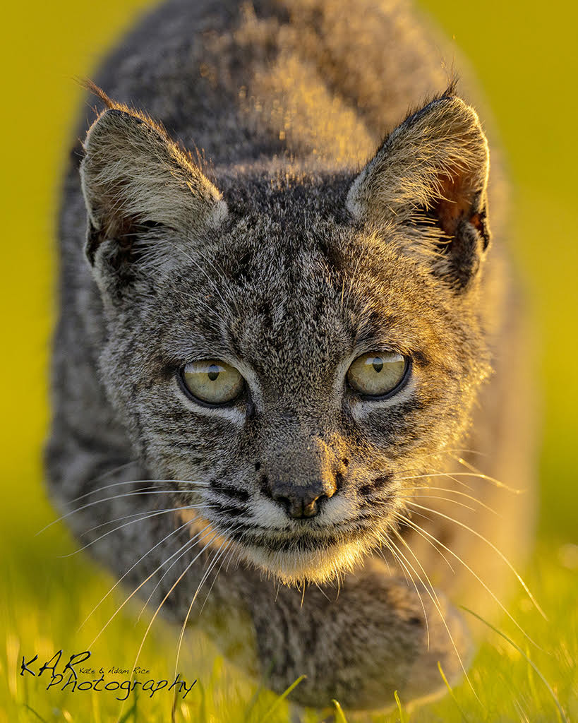 Bobcat by Kate and Adam Rice