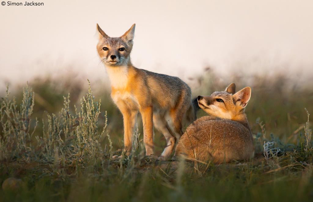 Swift foxes by Simon Jackson