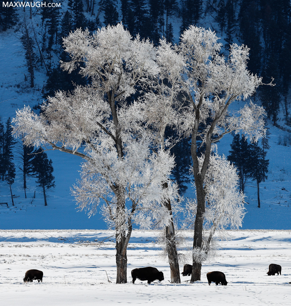 Bison and frosty trees
