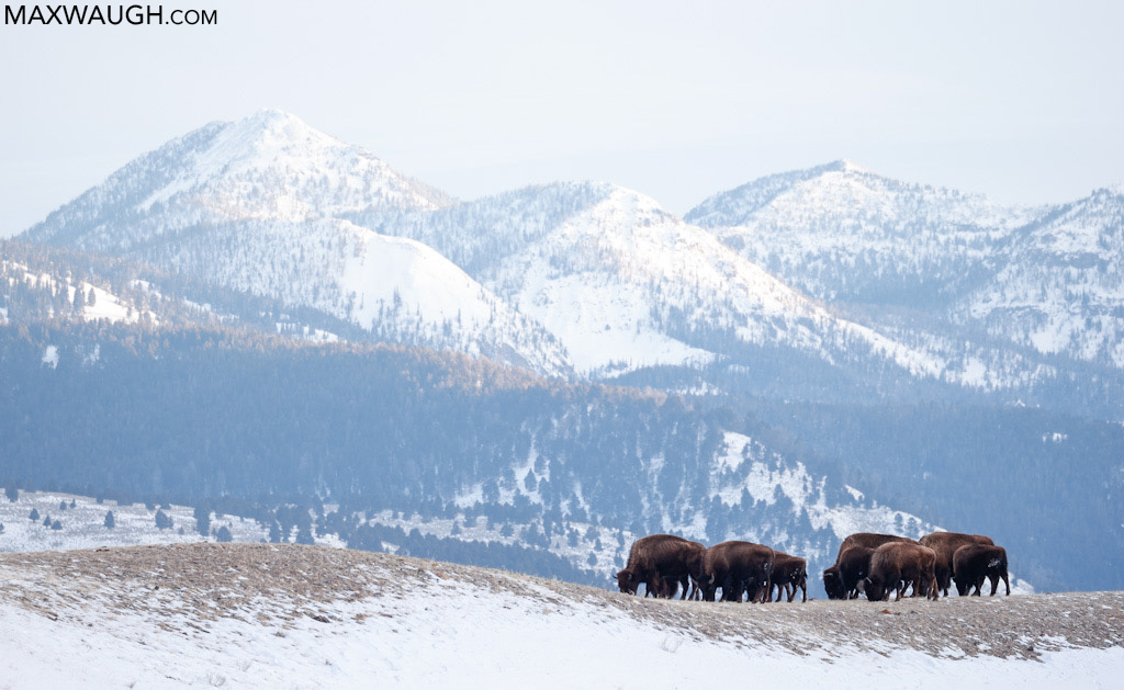 Bison and mountains