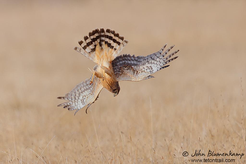 Northern Harrier by John Blumenkamp