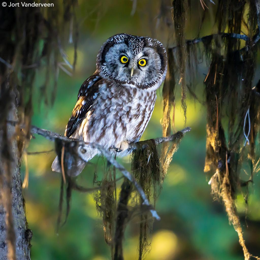 Boreal Owl by Jort Vanderveen