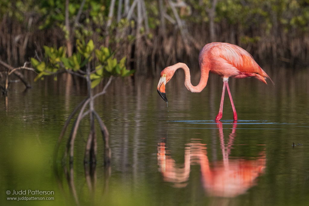 American Flamingo by Judd Patterson