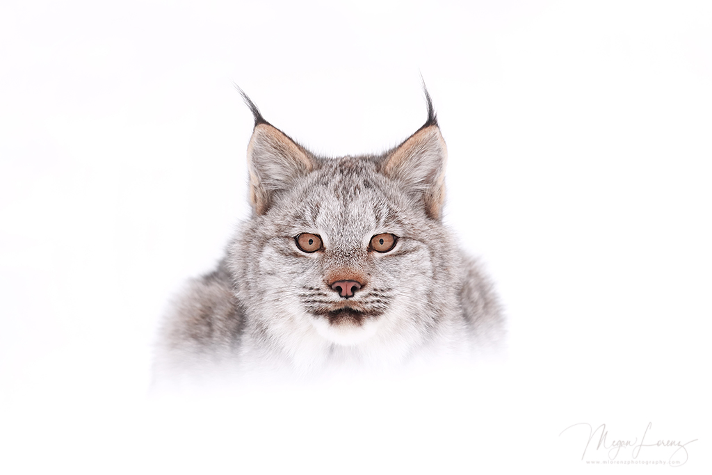 Canada lynx kitten by Megan Lorenz