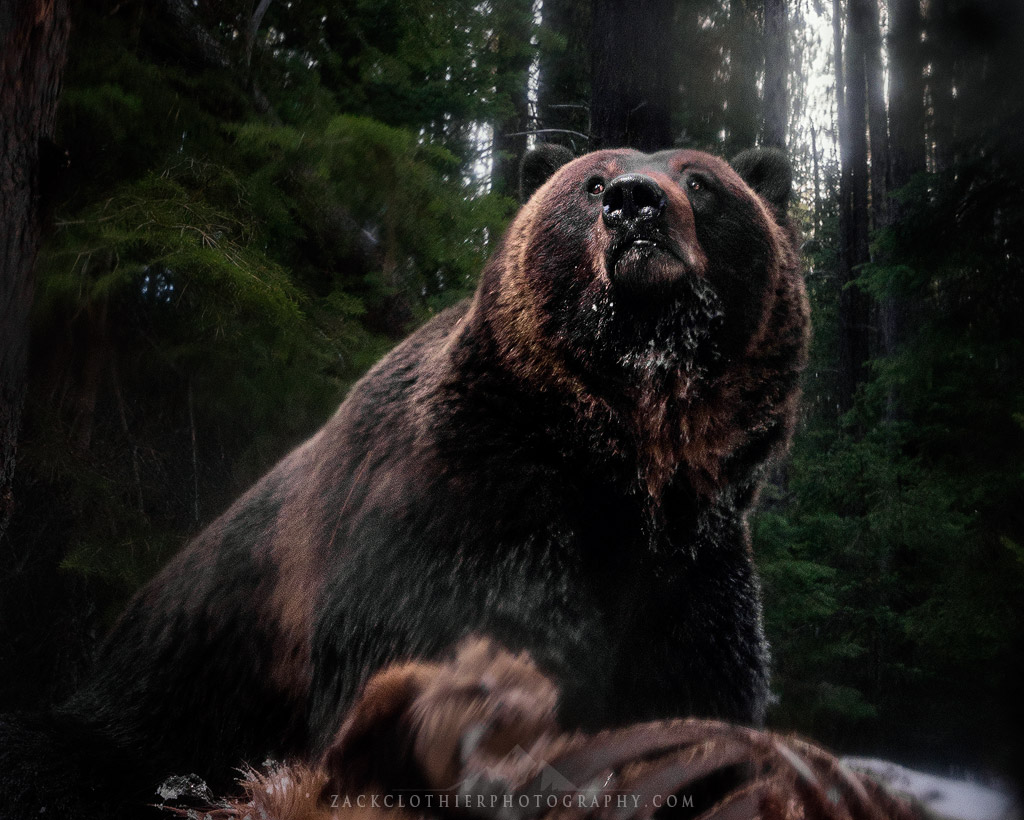 Grizzly bear by Zack Clothier
