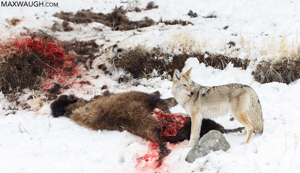 Coyote on carcass