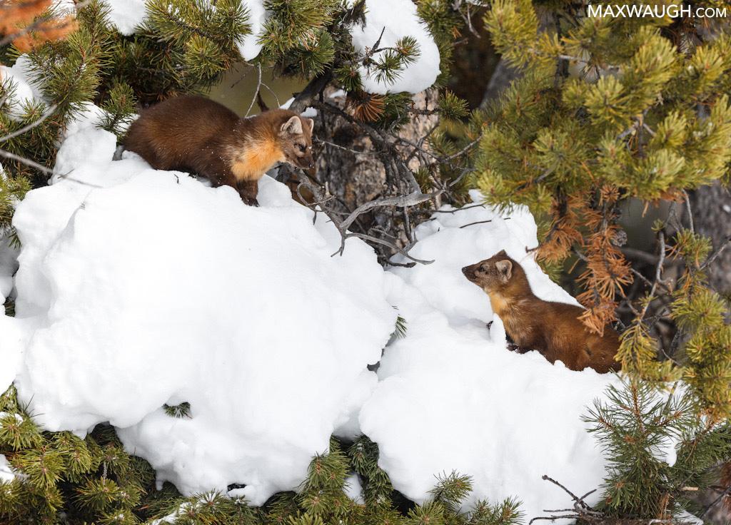 American pine martens