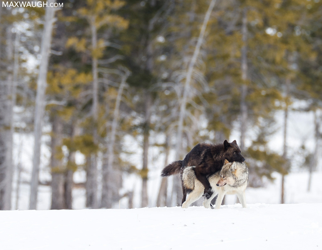 Mating wolves