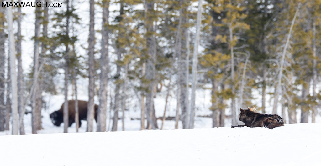 Wolves and bison