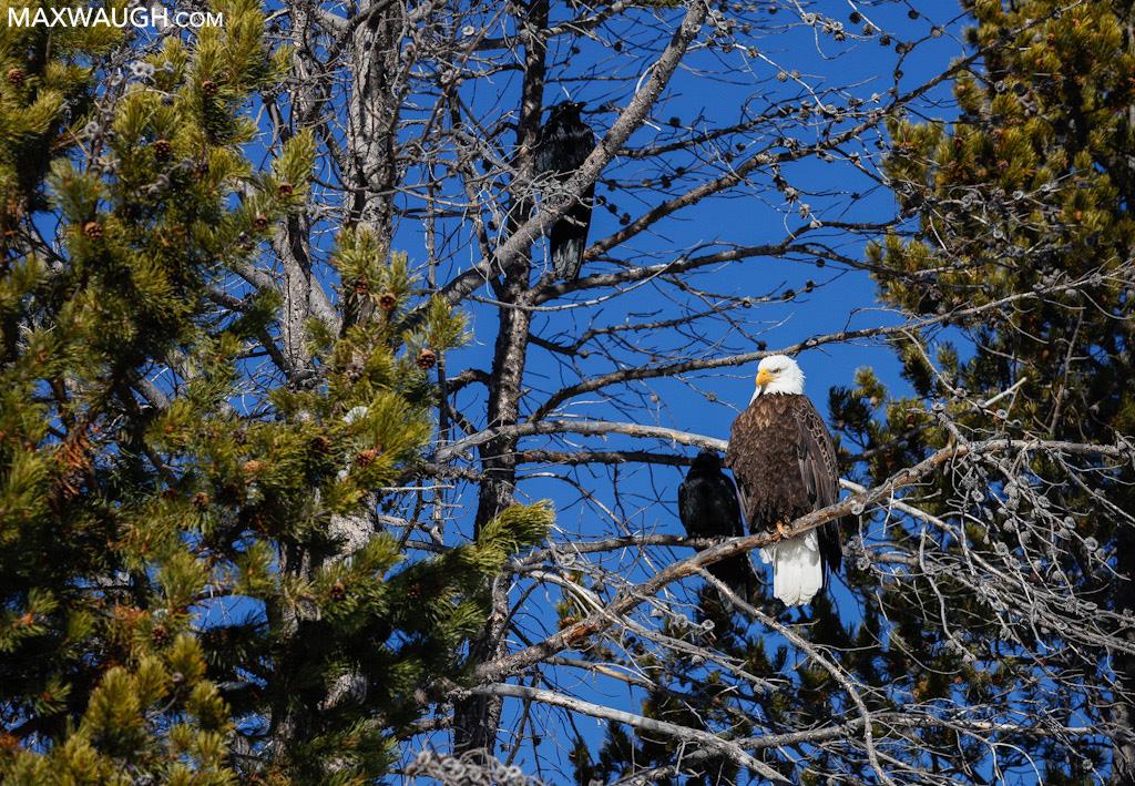 Bald Eagle and ravens