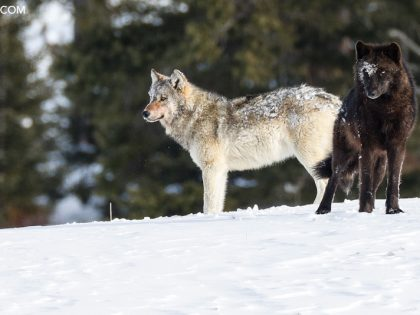 Yellowstone Winter 2021 Trip Report, Days 15 – 17