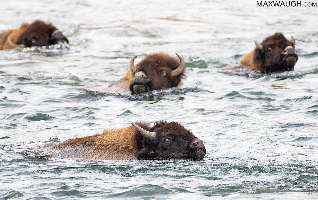 Swimming bison