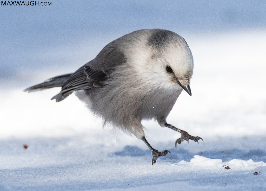 Canada Jay catching a spider