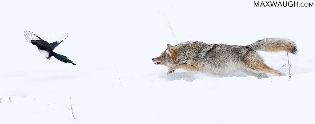 Coyote Chasing Magpie
