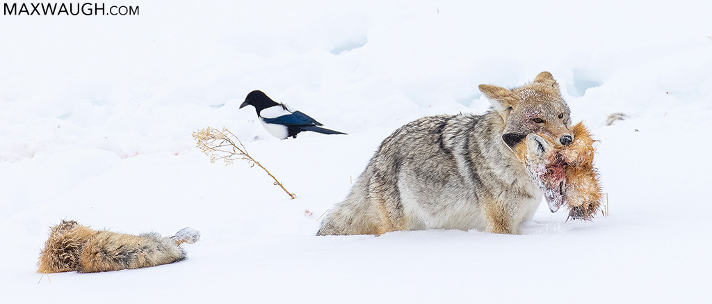 Coyote on Fox Carcass