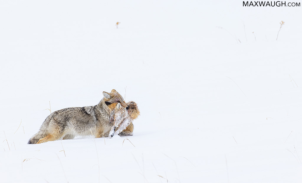 Coyote with Fox Carcass
