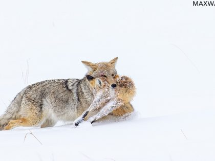 New Photos: The Coyote Ate the Fox