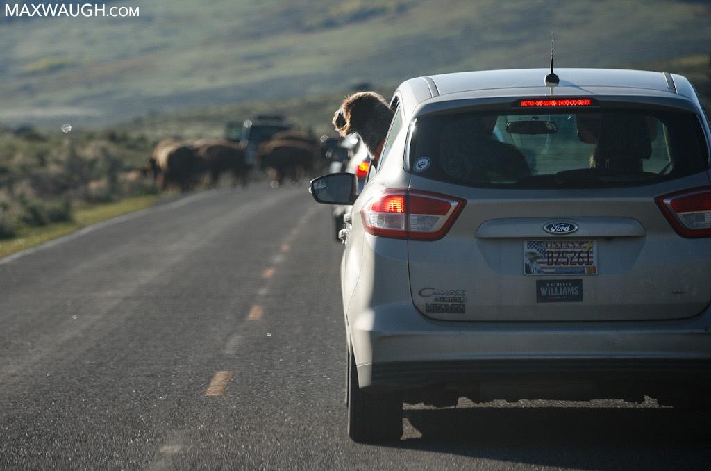 Dog watching bison