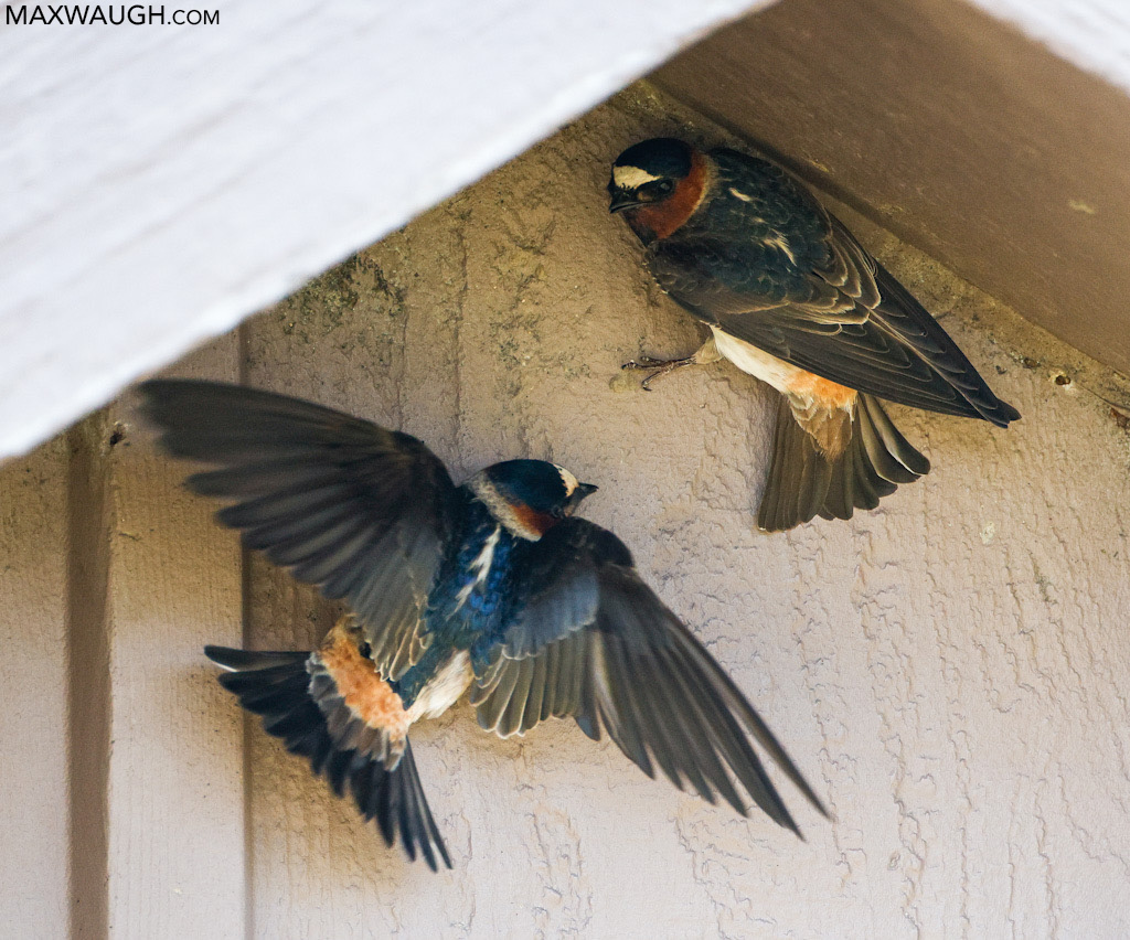 American Cliff Swallows