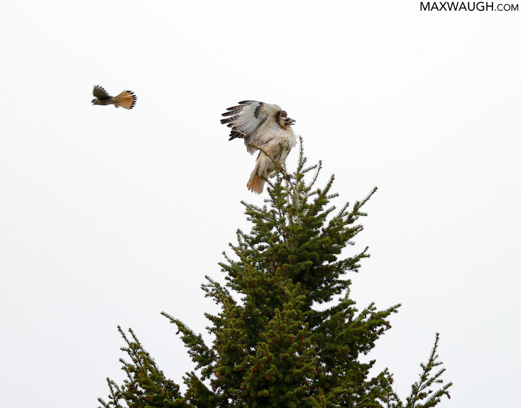 Red-tailed Hawk and American Kestrel