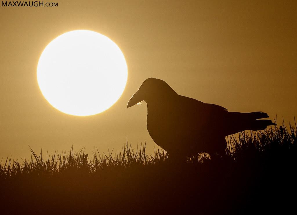 Common Raven at sunrise