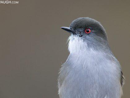 Animal Spotlight: Red-Eyed Birds