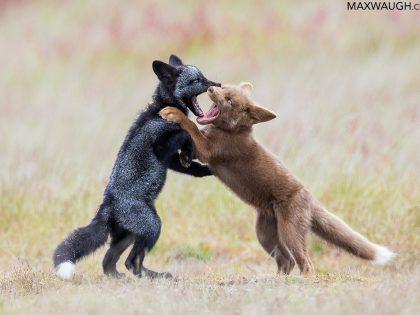 New Photos: San Juan Foxes + Pacific Northwest Parks & Reserves