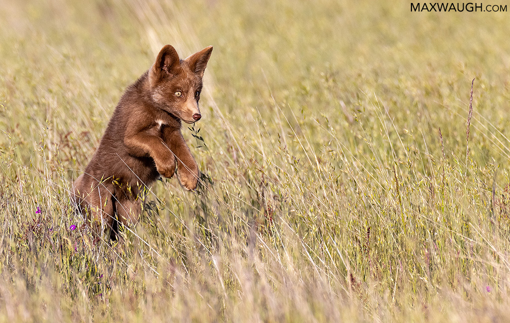 Brown Fox Kit