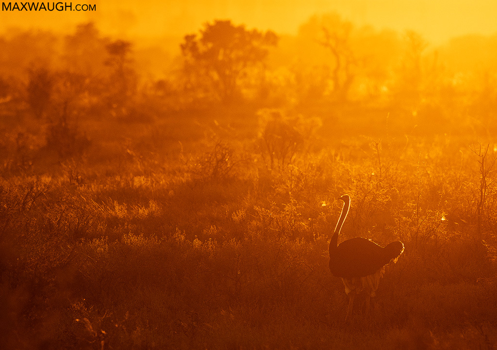 South African Ostrich