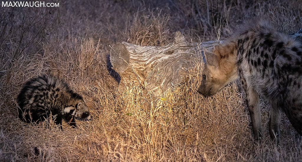 African Civet and Spotted Hyena