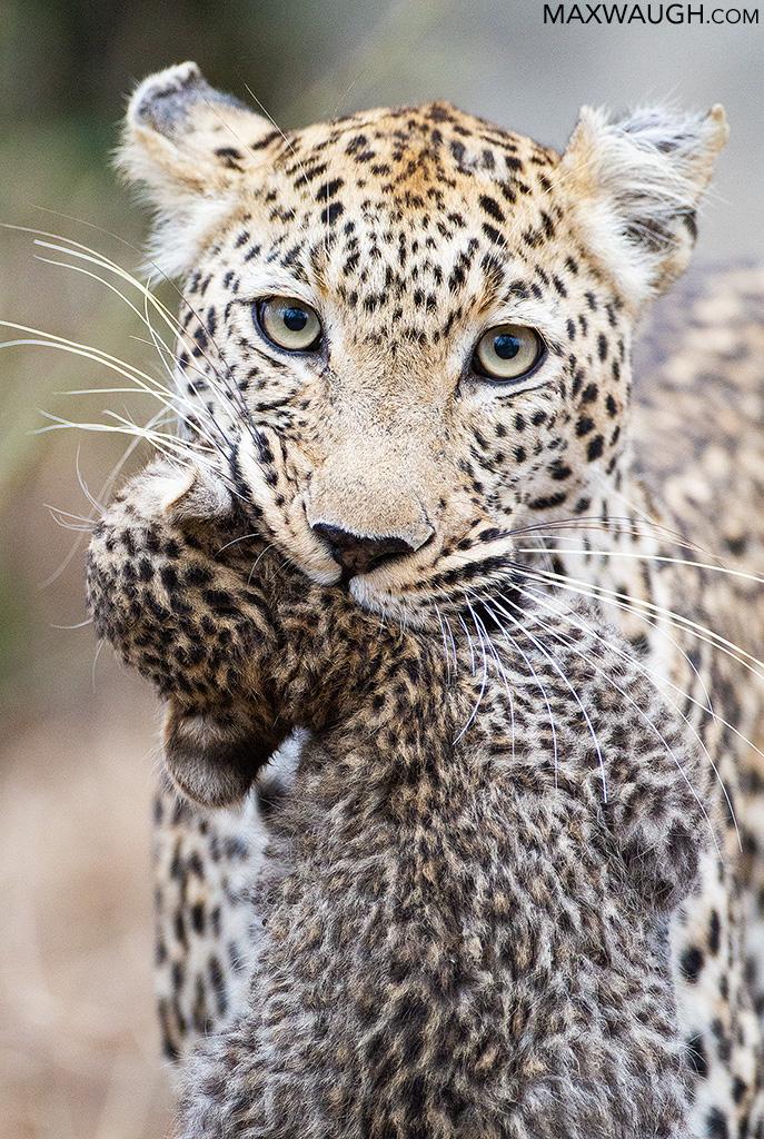 Leopard carrying cub